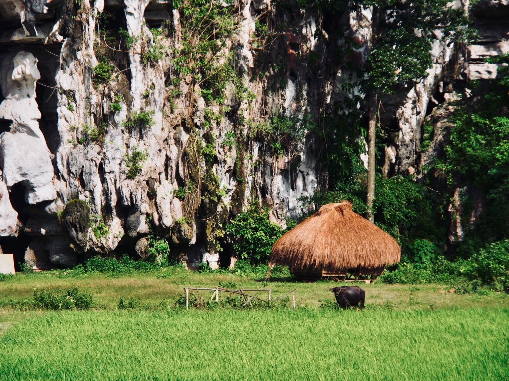 Water Buffalo near Karst formation.Palawan ,Phillipines ,S.E. Asia