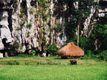 Water Buffalo near Karst formation.Palawan ,Phillipines ,S.E. Asia