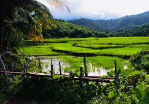 Rice Fields,El Nido ,Palawan , Phillipines,S.E Asia
