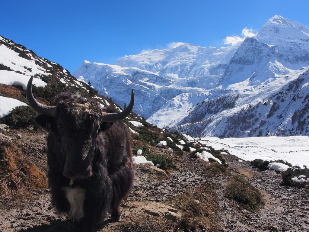 A Yak on the Annapurna Circuit Nepal
