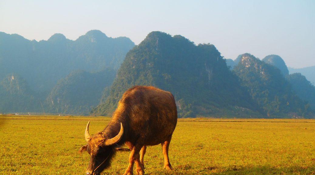 Buffalo grazing in Vietnam