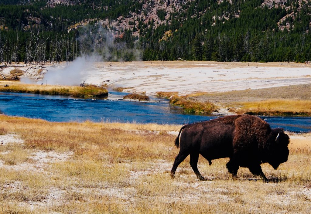 Bison and hot spring- Yellowstone