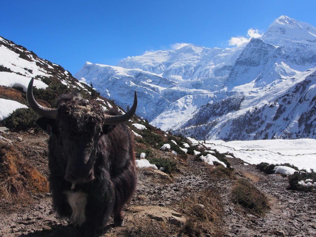 A Yak on the Annapurna Circuit Nepal